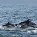 Short-beaked common dolphins (Delphinus delphis)