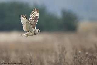 Short-eared Owl | by David Newby Images