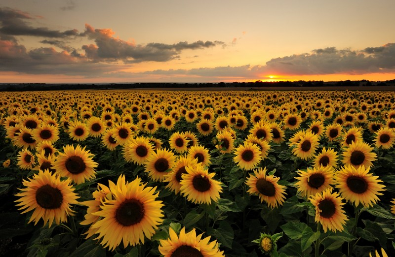 Sunflowers with the weather being so miserable lately for Girasoli tumblr
