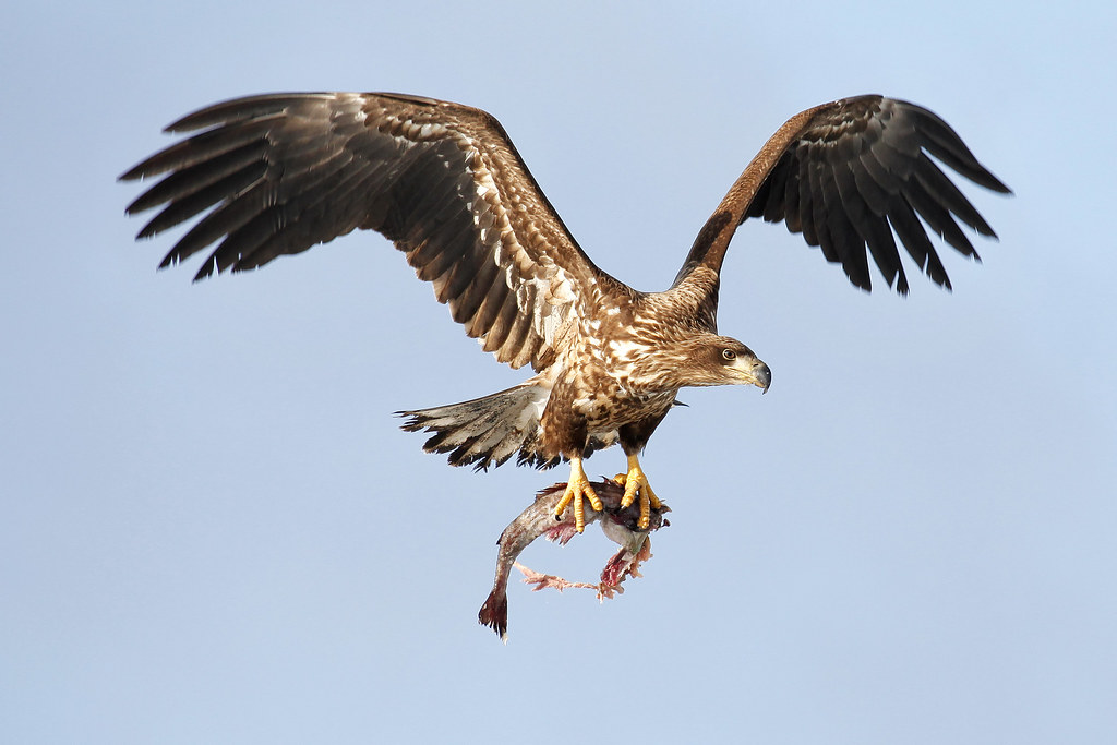 Flying eagle with fish a white tailed eagle flying with a flickr flying eagle with fish by pics721 altavistaventures Gallery