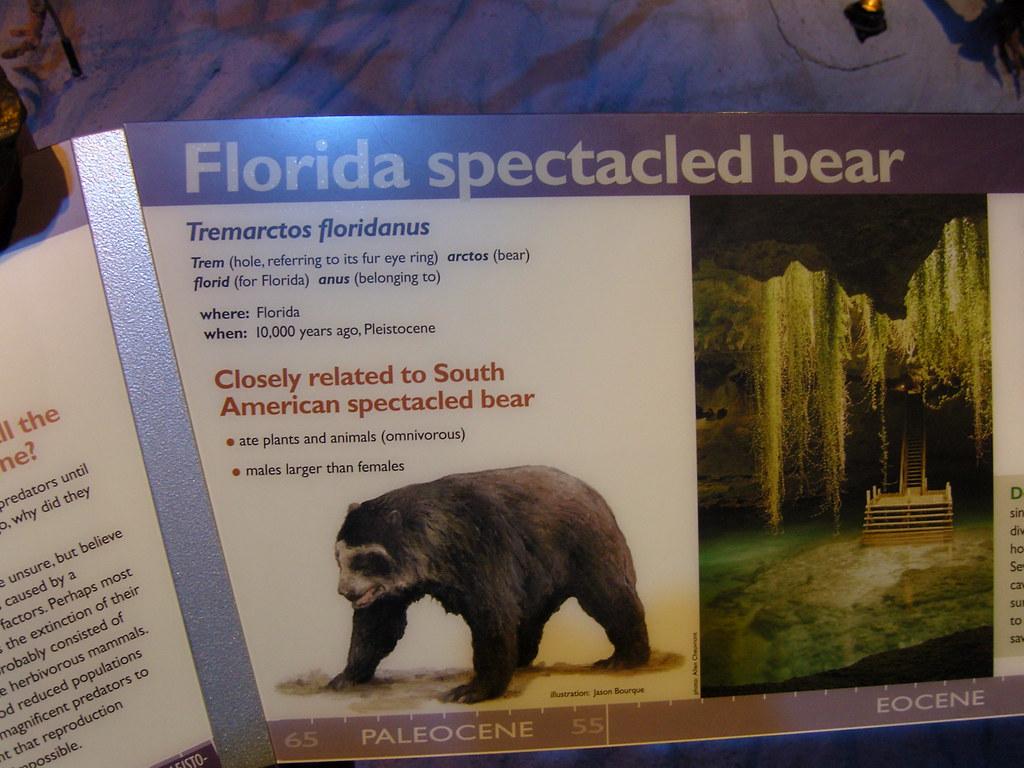 Florida Spectacled Bear | Tremarctos floridanus of ...