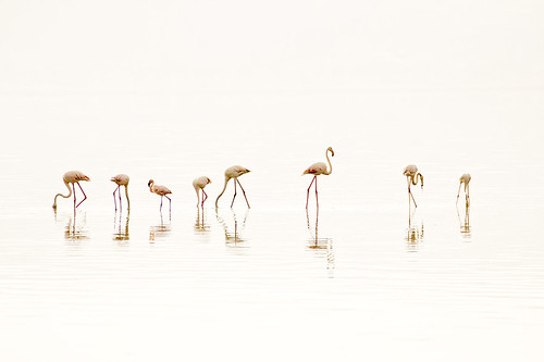 Flamingos at Lake Nakuru | by John Overmeyer