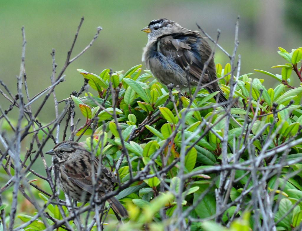 White-crowned Sparrow & Song Sparrow | A nice comparison ...