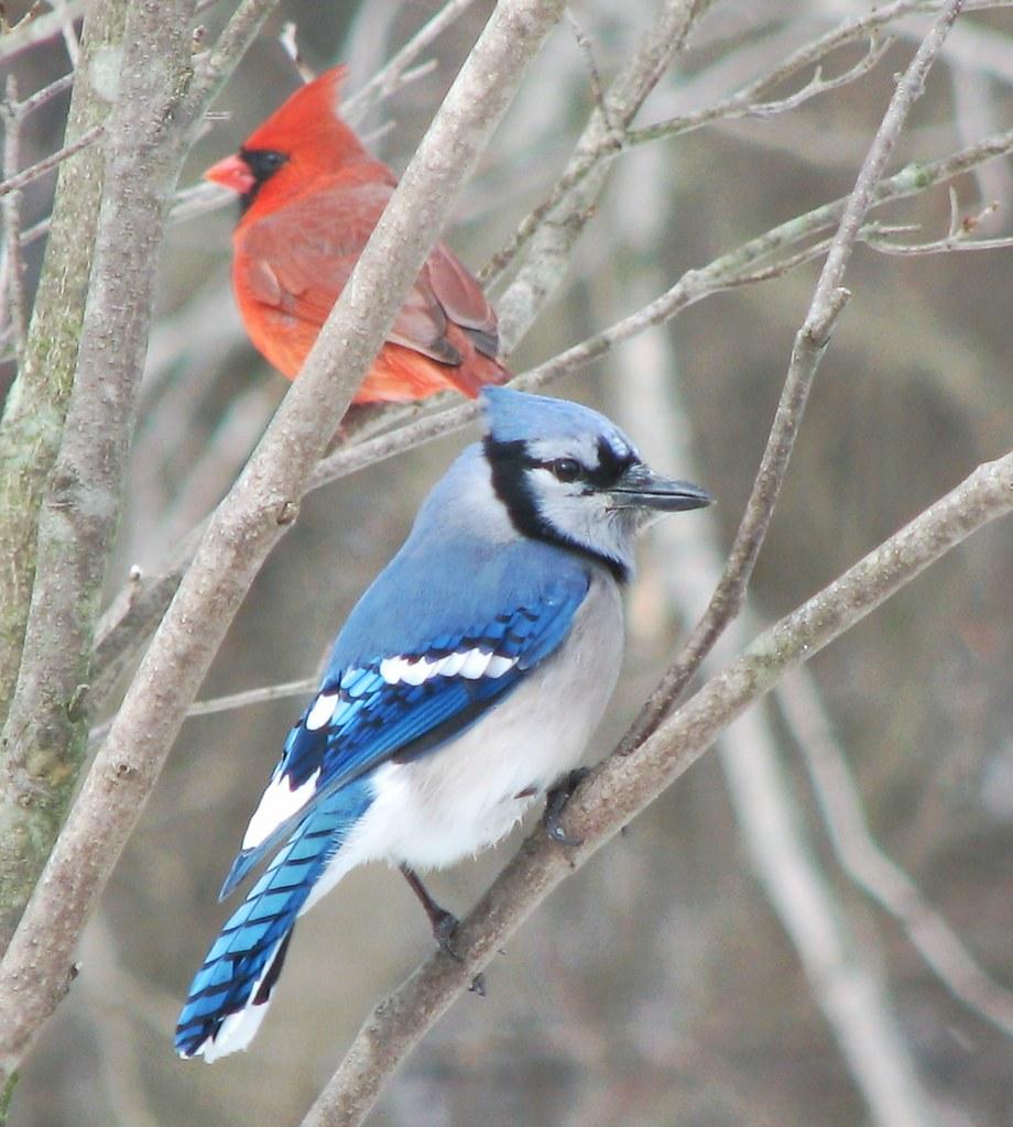 Cyanocitta Cristata Blue Jay Cardinalis Cardinalis No Flickr