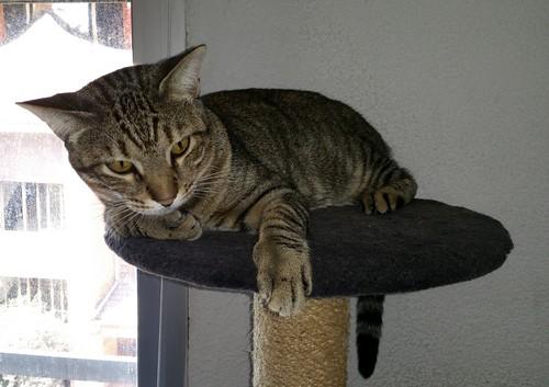 Cotton y Cobby, gatos pardo y blanquipardo inseparables, nacidos en Febrero´15, necesitan adopción Conjunta. Valencia. 29459279312_1271652198