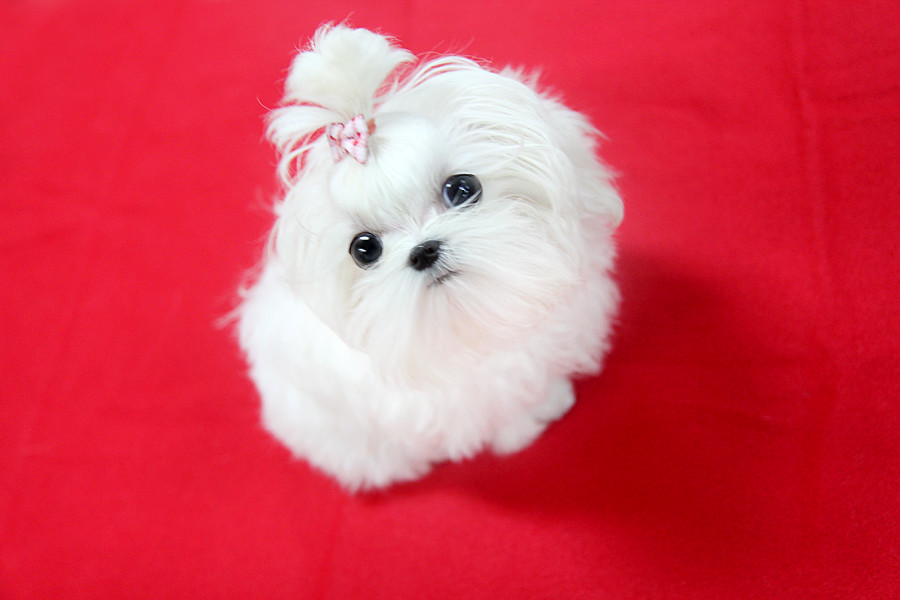 Top quality teacup maltese puppy | Can you believe,5months ...