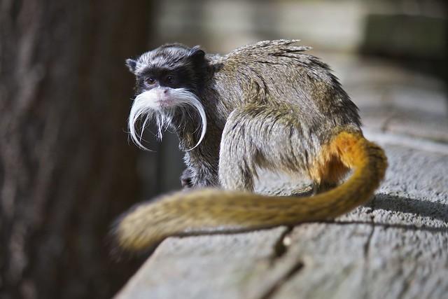 Beardy Monkey: Bearded Emperor Tamarin