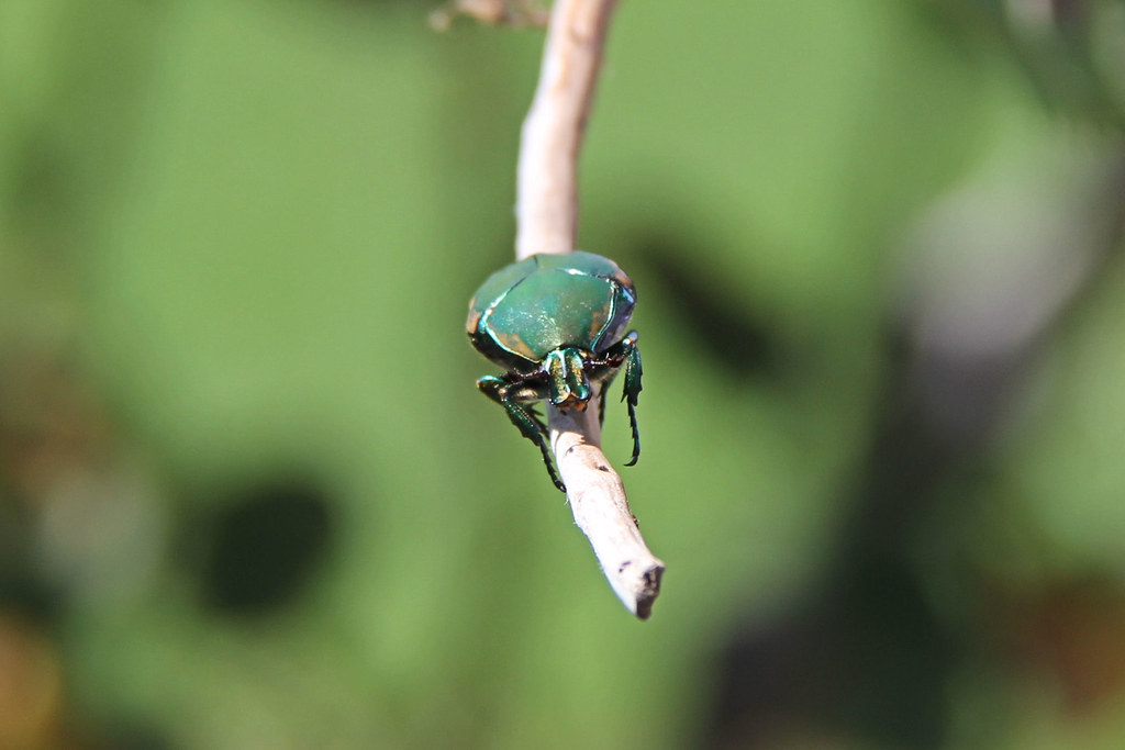 Figeater beetle. | Cotinis mutabilis, also known as the ...