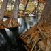 Grand Cypress in Autumn - Hunt, Texas