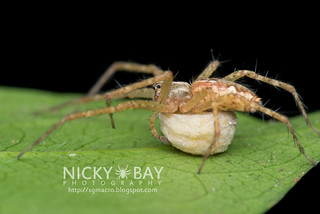 Nursery Web Spider (Sphedanus sp.) - DSC_1474 | by nickybay