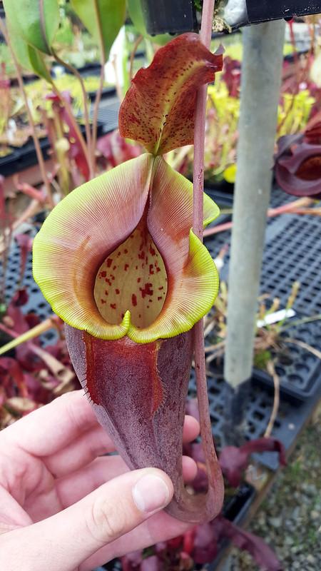 Nepenthes eyemae × jacquelineae.