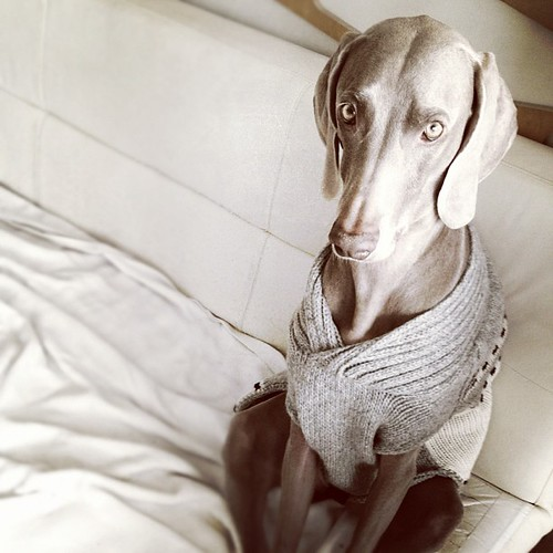 Portrait of a #Weimaraner in a Sweater | by cyantifik
