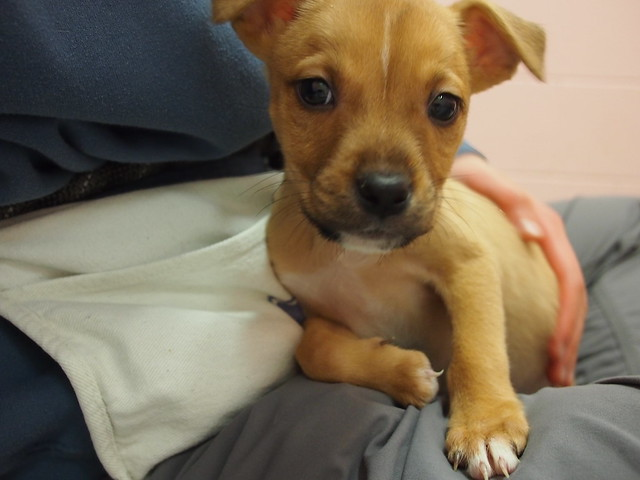 lab/pit mix puppies | LAB/PIT MIX PUPPIES: We have 7 of the ...