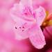 Pink Azalea (Explored!)