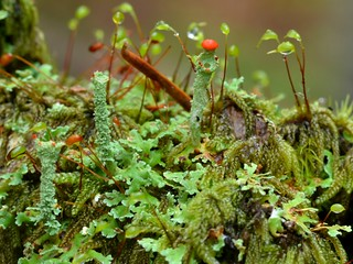 British Soldier Lichens (Cladonia cristatella or kin) and Mosses in the Oregon woods | by Treebeard