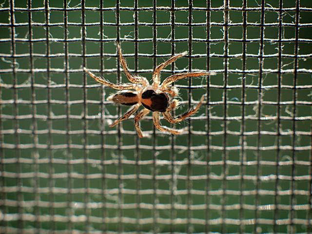 Spider on mosquito net