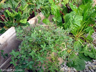 Happy Greek oregano thriving in the unheated greenhouse on 11-13-12 | by Farmgirl Susan