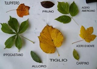 foglie raccolte e nome degli alberi