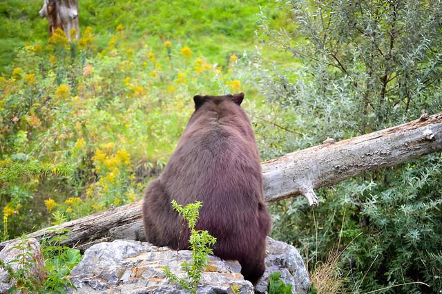 Bear Butt