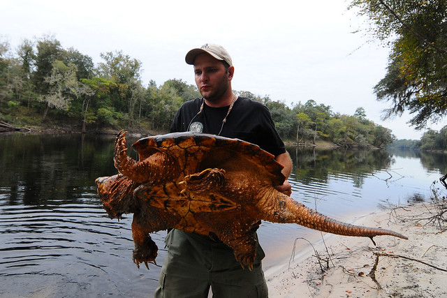 alligator snapping turtle 12 flickr photo sharing