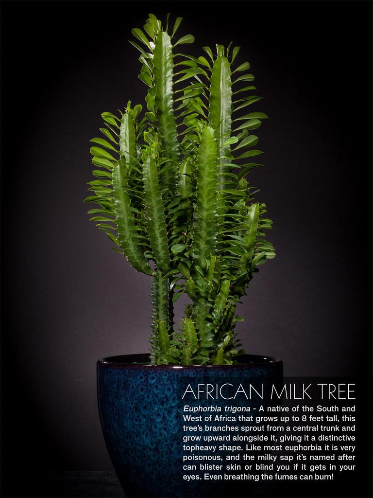 Milk tree: photo, description, where it grows 89