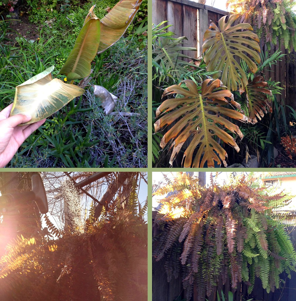Damage To Some Of My Subtropical Plants From Our Recent De