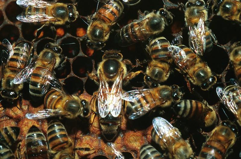 Африканизированная пчела (Apis mellifera scutellata), фото фотография