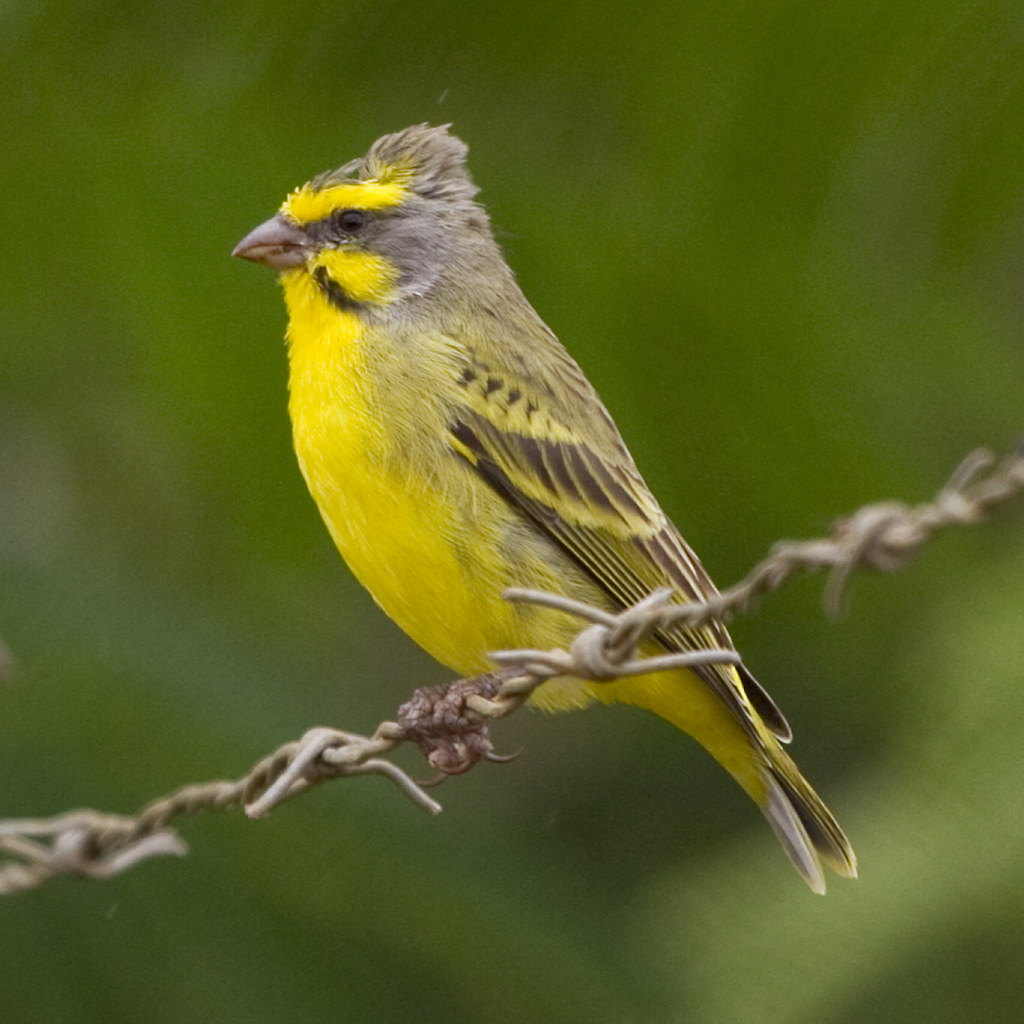 Yellow-fronted Canary (bad hair day) | Sc Name: Serinus ...