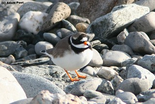 Ringed Plover | by Adam Peet
