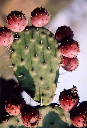 prickly pear with 'tunas' (fruit)