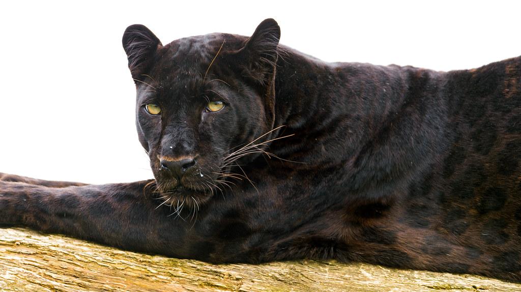 Musta Leopardi