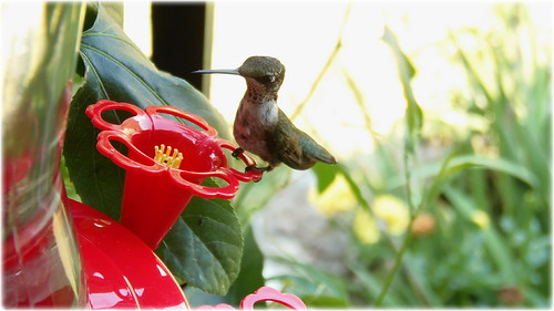 Ruby Throated Hummingbird-(Female) | by John C. Akers jr.