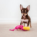 Chihuahua playing with dog toy