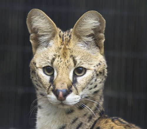 Serval portrait | by San Diego Shooter