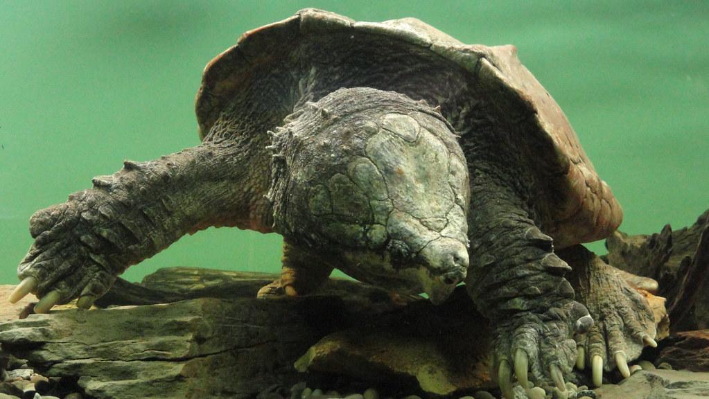 Alligator Snapping Turtle 1 Alligator Snapping Turtle At