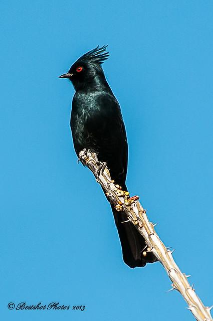 Black Cardinal ? | Flickr - Photo Sharing!