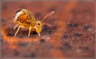 Dicyrtomina ornata | by Ed Phillips 01