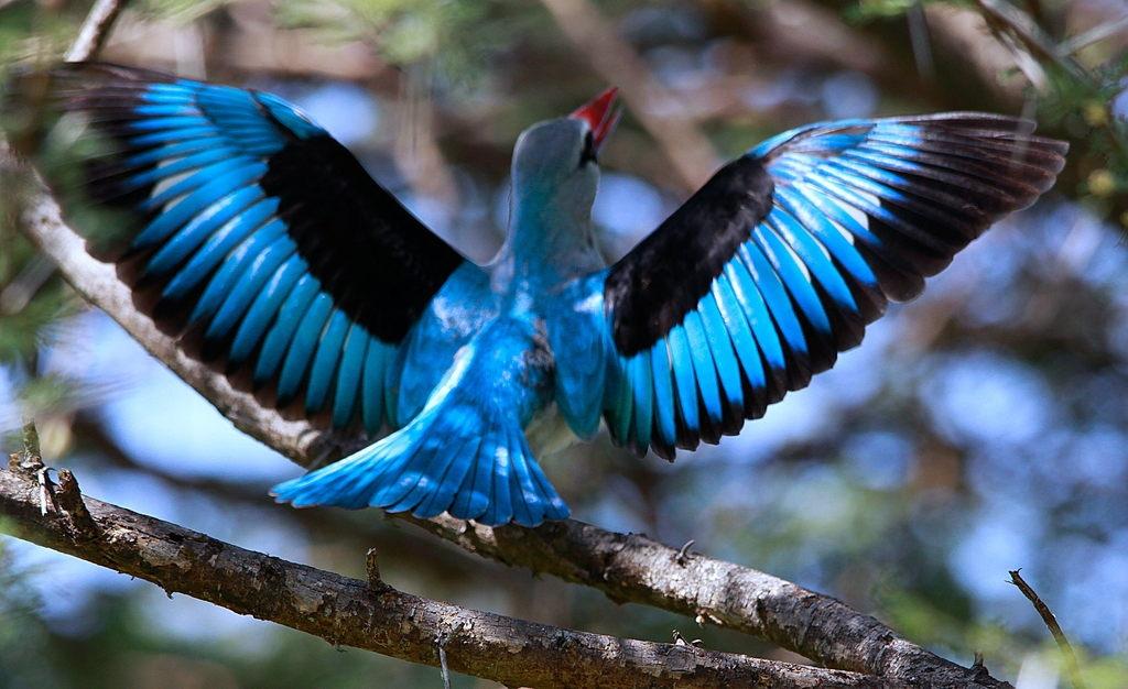 emuwren: The Grey-headed Kingfisher - Halcyon leucocephala ...