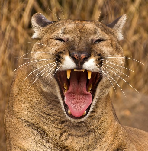Cougar Yawn | by Kool Cats Photography over 10 Million Views