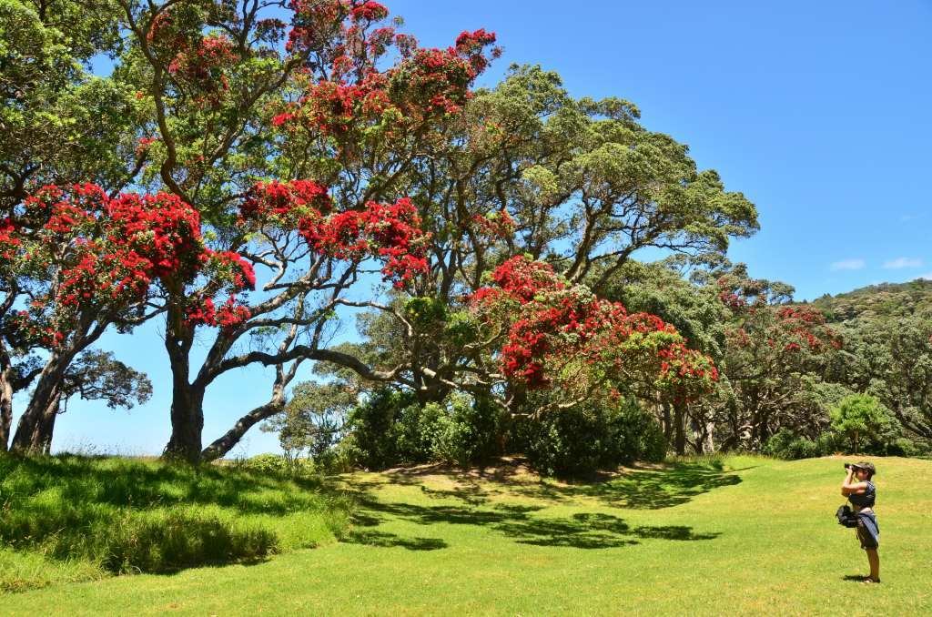 Pohutukawa - New Zealand Christmas Tree. (Explored 13.12.1 ...