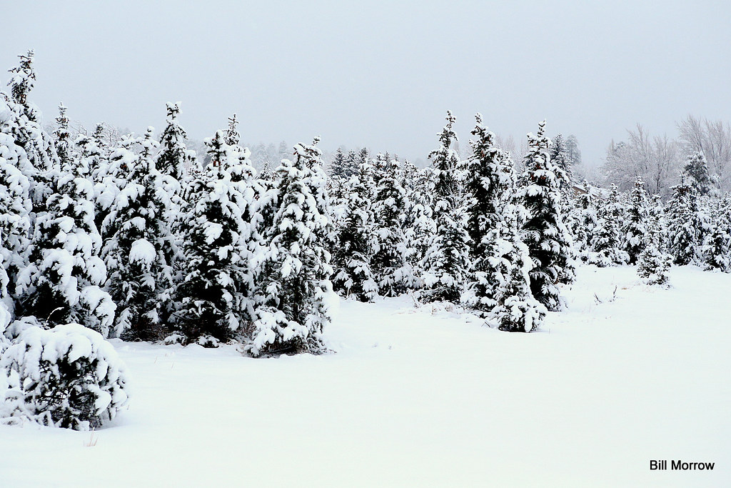 CHRISTMAS TREE FARM AFTER SNOW | A Christmas tree farm in ...