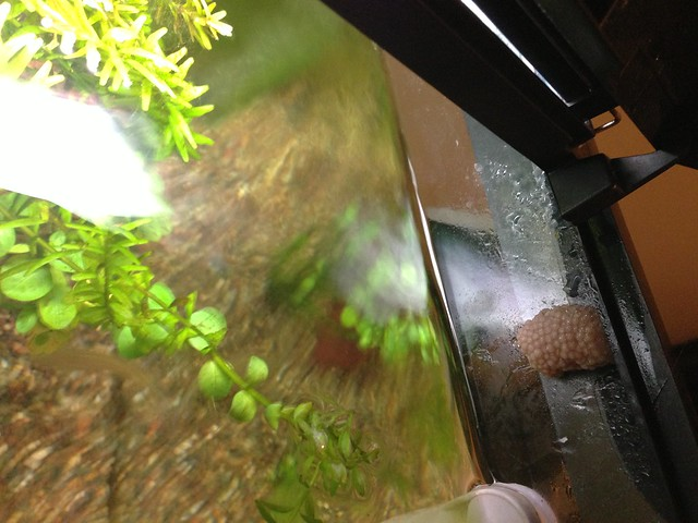 Snail eggs in william 39 s fish tank flickr photo sharing for Snail eggs in fish tank
