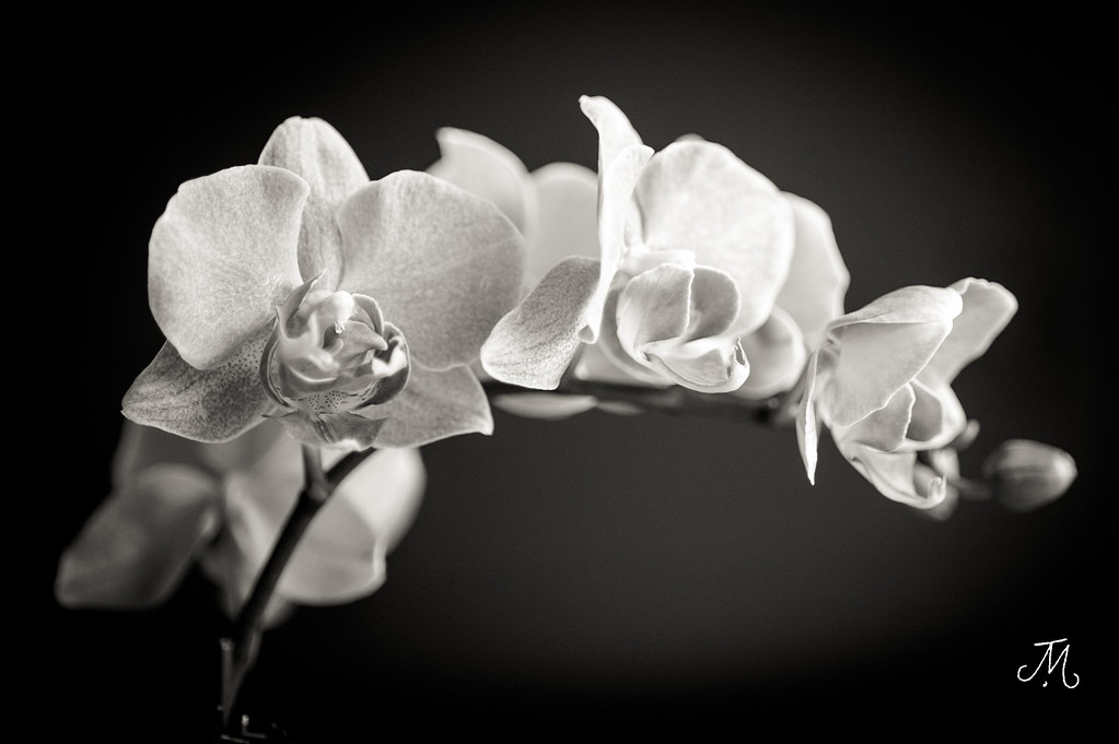 Black & White Orchid | Jamie Mastrio | Flickr