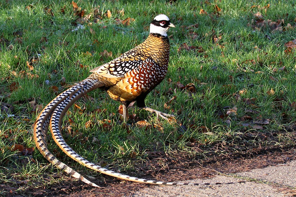 Reeves Pheasant Pictures Pheasant Reeves Minsmere