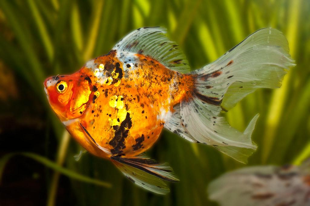 Ryukin goldfisch aquarium goldfische aquarium flickr for Aquarium goldfische