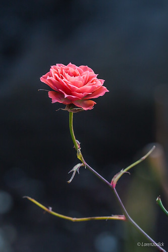 Last little rose - Flower | by Lorenzoclick