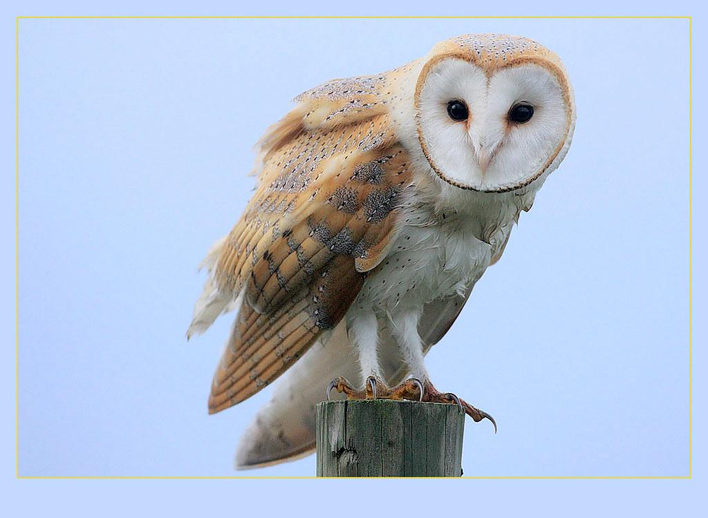 Barn Owl Tyto Alba An Image Taken On One Of Those Few