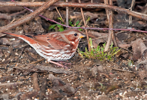 Fox Sparrow | by Kelly Colgan Azar