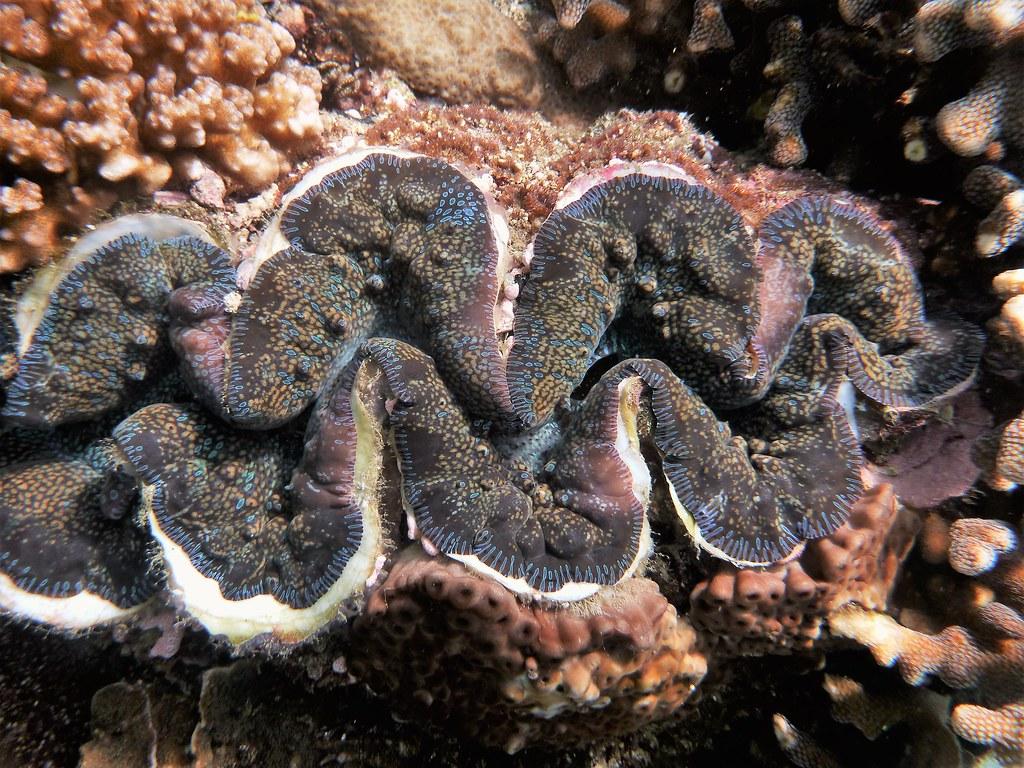 東嶼坪可見到大於30公分的硨磲貝。攝影:蕭伊真