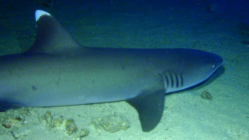 #688 whitetipped reef shark (ネムリブカ)